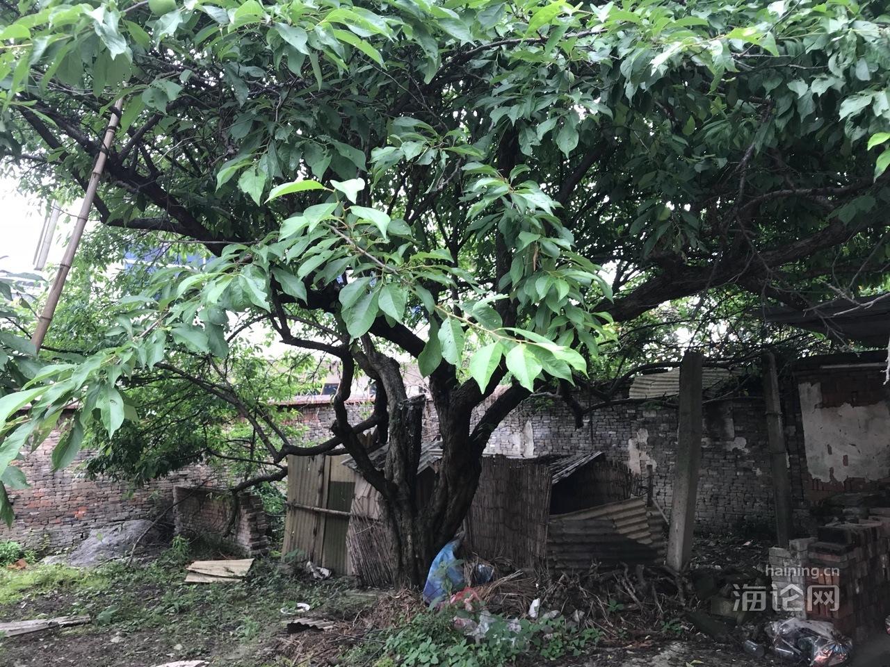 出售李子树一株