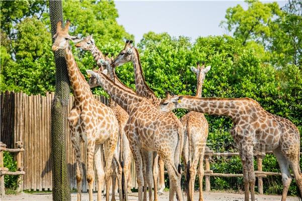摄图网_501619541_上海野生动物园一群长颈鹿(企业商用)_副本.jpg